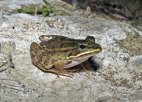 La rana di stagno italiana pelophylax bergeri guenther for Animali da stagno