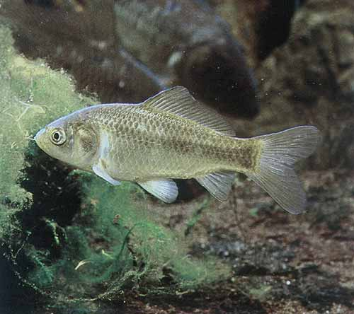 Il pesce rosso carassius auratus linnaeus 1758 for Quanto vive un pesce rosso