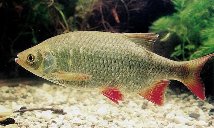 горчаки рыба фото