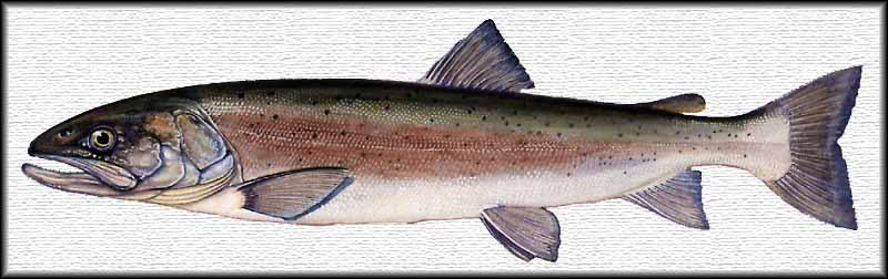 Il Salmone Del Danubio Hucho Hucho Linnaeus 1758