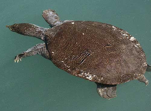 Tartaruga Dal Guscio Molle.La Tartaruga Dal Guscio Molle Del Nilo Trionyx Triunguis Forskal